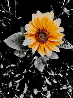 august-sunflower