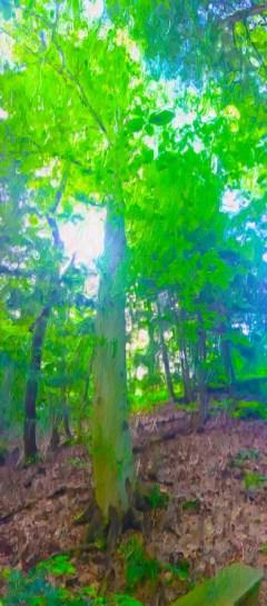 may-tree