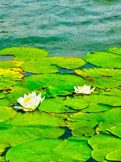 water-lillies